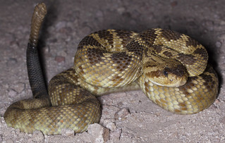 Black-tailed Rattlesnake (Crotalus molossus) | by Hunter Meakin