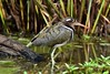 Greater Painted-snipe  (Rostratula benghalensis) by Ian N. White