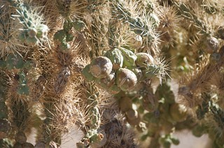 BGAFR -  desert cholla fruit | by Pierre Yeremian