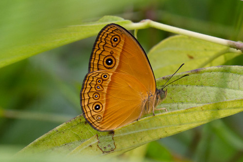 Mycalesis phidon phidonides (Hewitson's Bush Brown) male | by Kristof Zyskowski and Yulia Bereshpolova