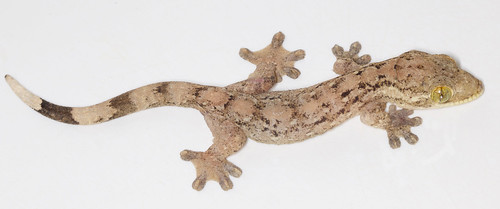 Turnip-tailed gecko (Thecadactylus rapicauda) | by Hunter Meakin