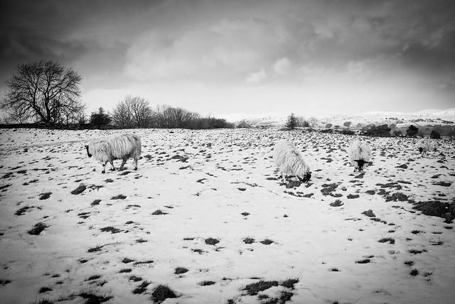 Cunswick Scar sheep