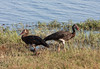 Spur-winged Geese by Malcolms wanderings
