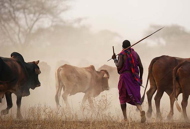 Cattle on the way back to a Masaï village - South Rift Valley - Kenya
