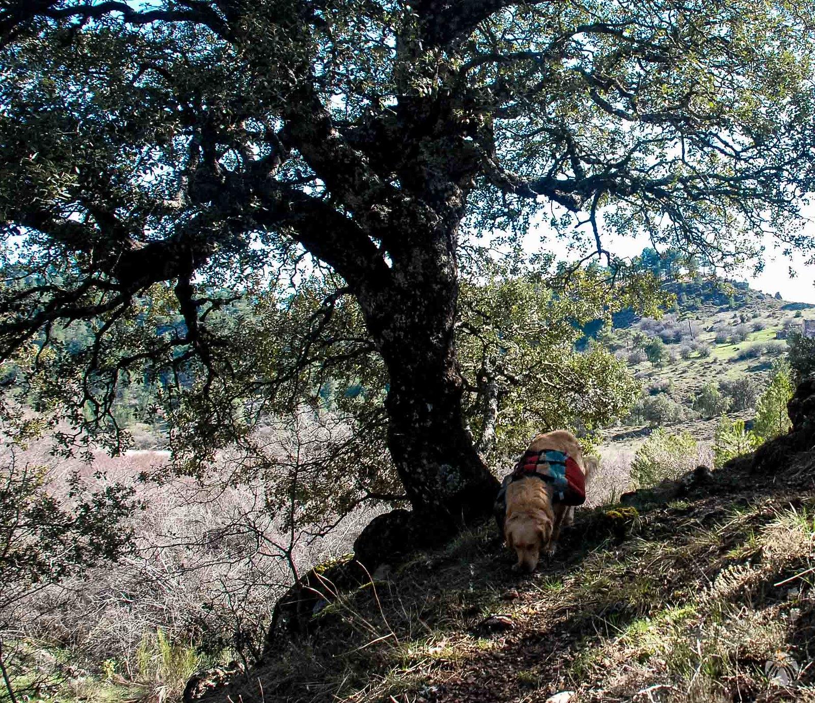 Viejas encinas cerca del Cortijo de Miguel Serrano