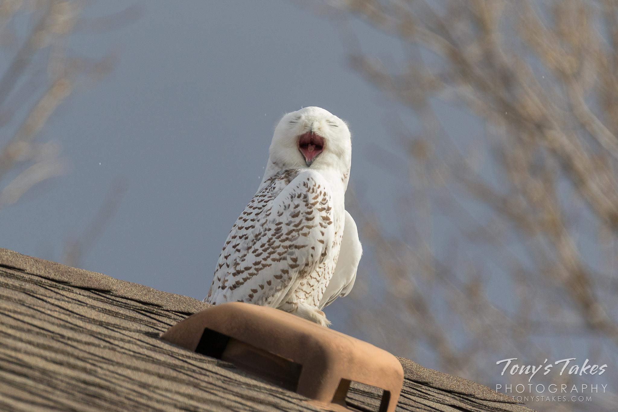 Snowy Owl gives a big yawn