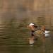 オシドリ(Mandarin duck)