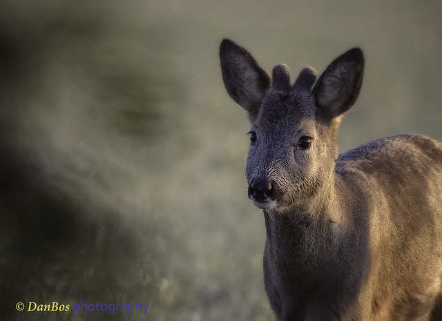 Roe-deer Portrait