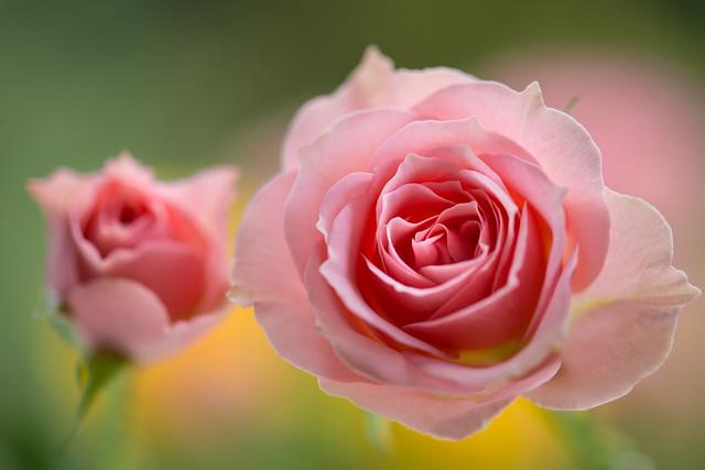 rose 7118