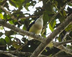 White-mantled Barbet (Capito hypoleucus)