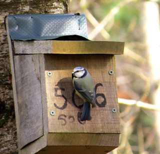 Cyanistes caeruleus Blue Tit | by david cawthraw