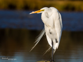 Great Egret 001 | by Phocal Art