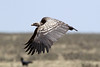 Gyps rueppelli (Ruppell's Griffon Vulture) - Tanzania by Nick Dean1