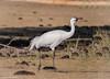 Whooping Crane (Grus americana) - near Lake Wales, Florida by JFPescatore