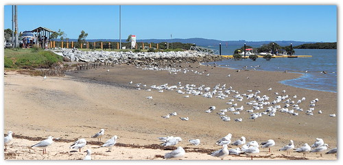 Mid-afternoon, a time to rest - gulls at Tooradin Inlet foreshore.