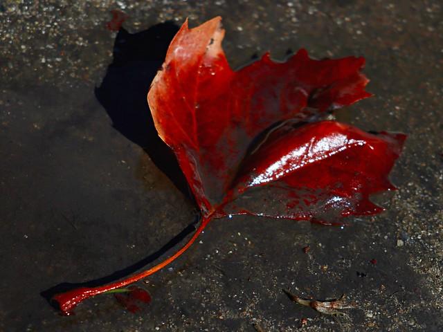 Blood Red Leaf