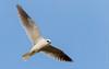 Elanus leucurus | White-tailed Kite | Gavilán Maromero by Daniel Avendaño