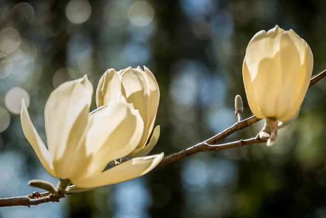 Honey Tulip Magnolia (2079)