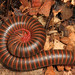 American Giant Millipede Complex - Photo (c) Judy Gallagher, some rights reserved (CC BY)