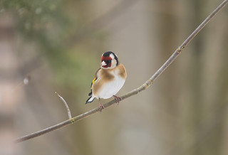 Goldfinch, The Lodge, 3rd March 2018