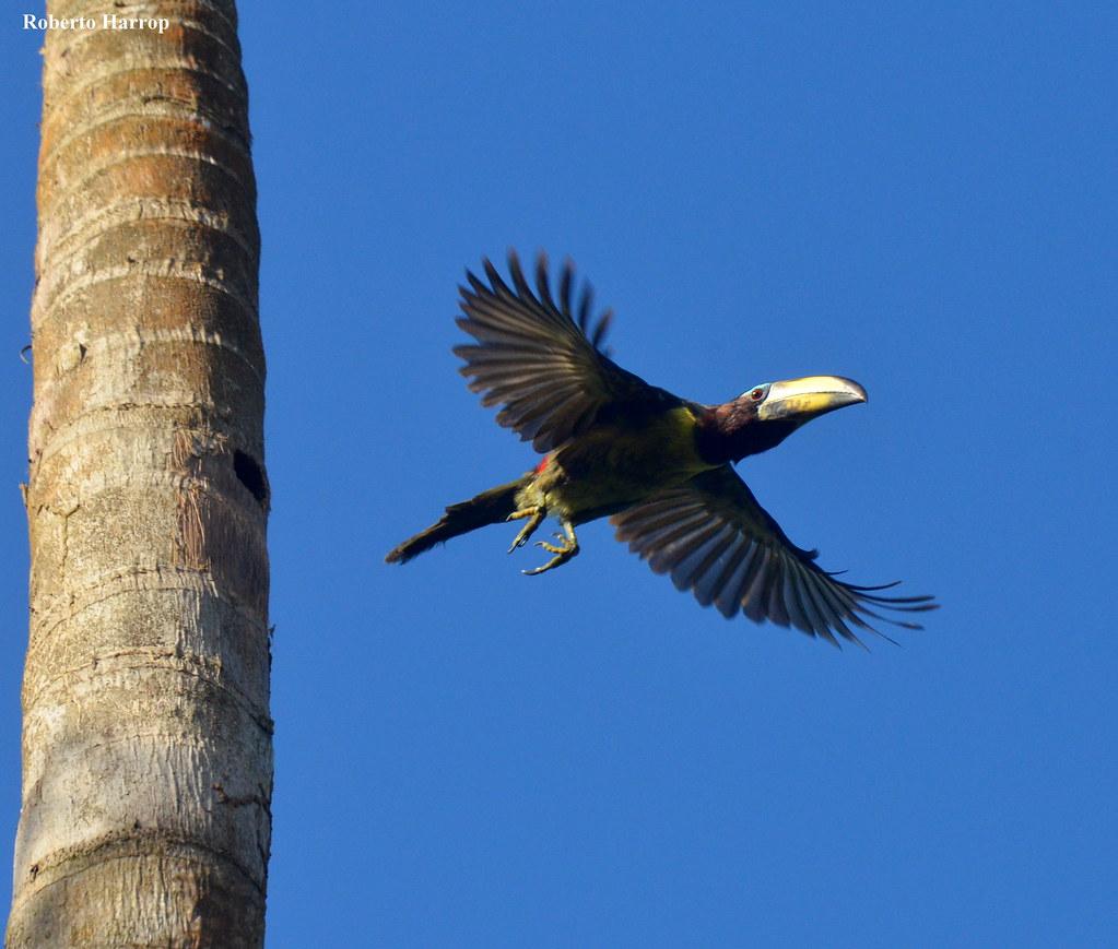 araçari-miudinho-de-bico-riscado, araçari-letrado  (Pteroglossus inscriptus) - Lettered Aracari