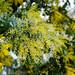 Mimosa Tree's (Acacia dealbata, フサアカシア) Yellow Blossoms / Sunday in San Francisco
