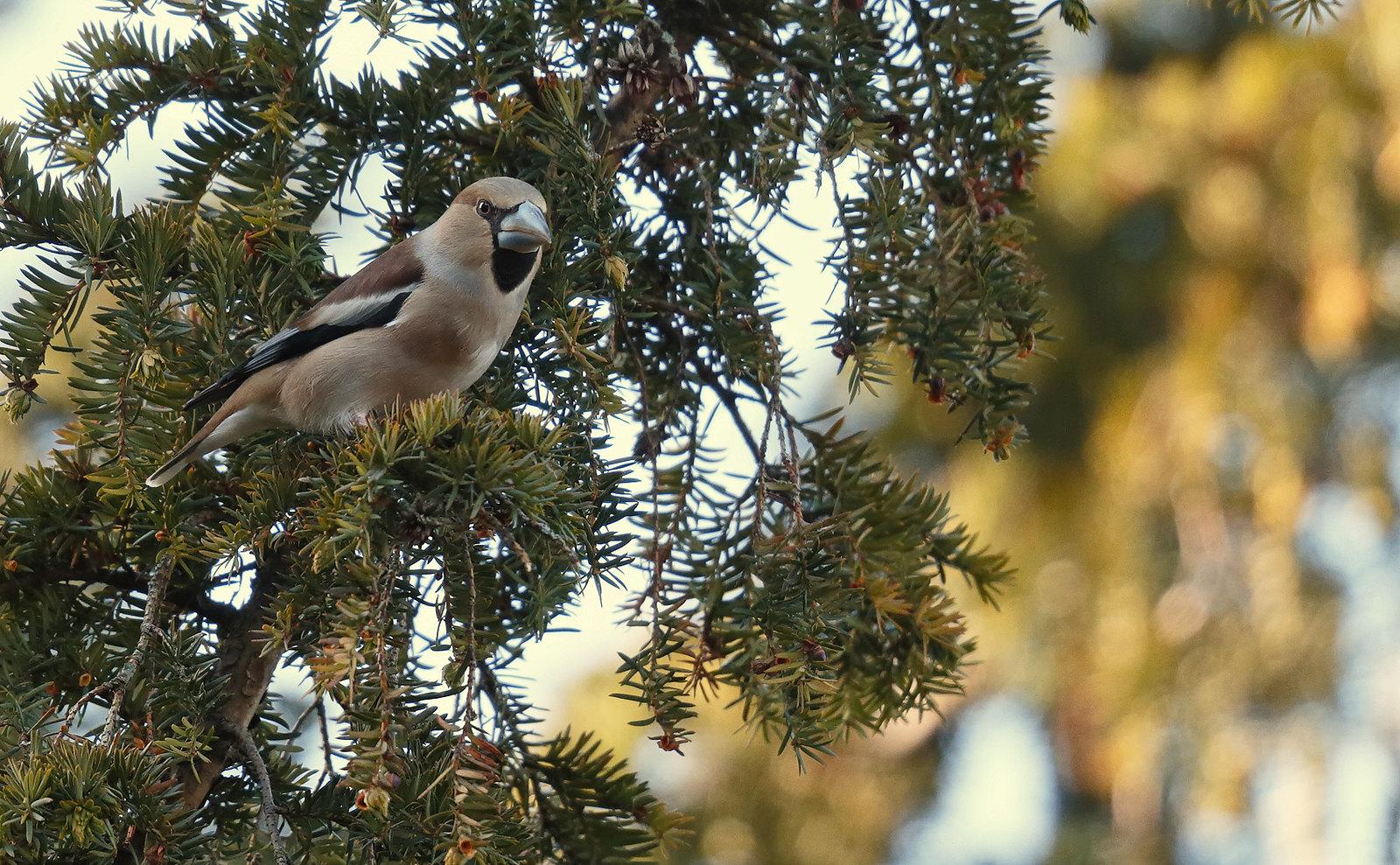 Hawfinch - Darley Dale, Matlock