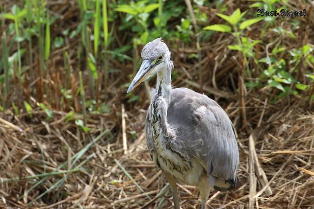 Jeune héron cendré (Ardea cinerea - Grey Heron)