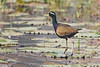 Bronze-winged Jacana, Metopidius indicus by Kevin B Agar