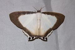 Uraniidae: Cyphura caudiferaria