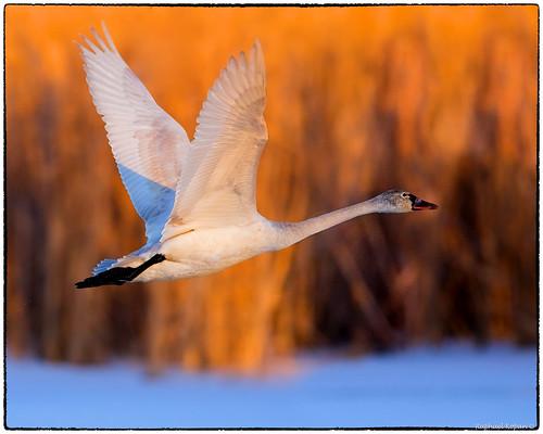 d500 nikkor600f4evr 14xtciii raphaelkopanphotography fernaldpreserve photoshopc6 ohio tundraswans wildlife