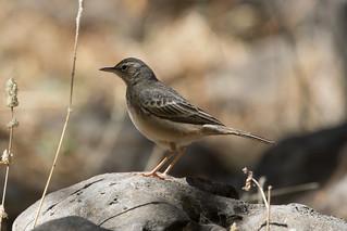 Long-billed Pipit at Wadi Darbat S24A6146