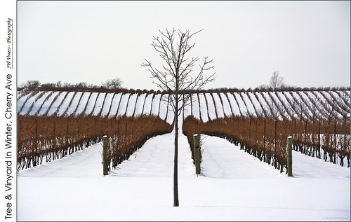 vineyard winter snow grapes tree rows receding symmetry winery megalomaniac niagaraescarpment bench beamsville vineland opensource rawtherapee gimp nikon d7100 nikkor18105mmvr
