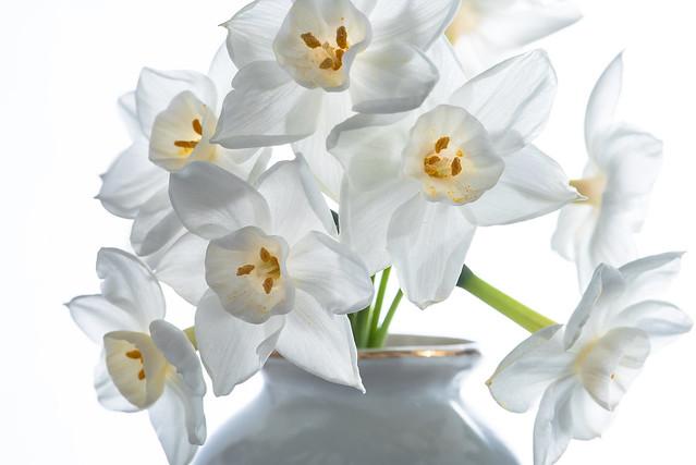Paperwhites, Narcissus Tazetta Ziva