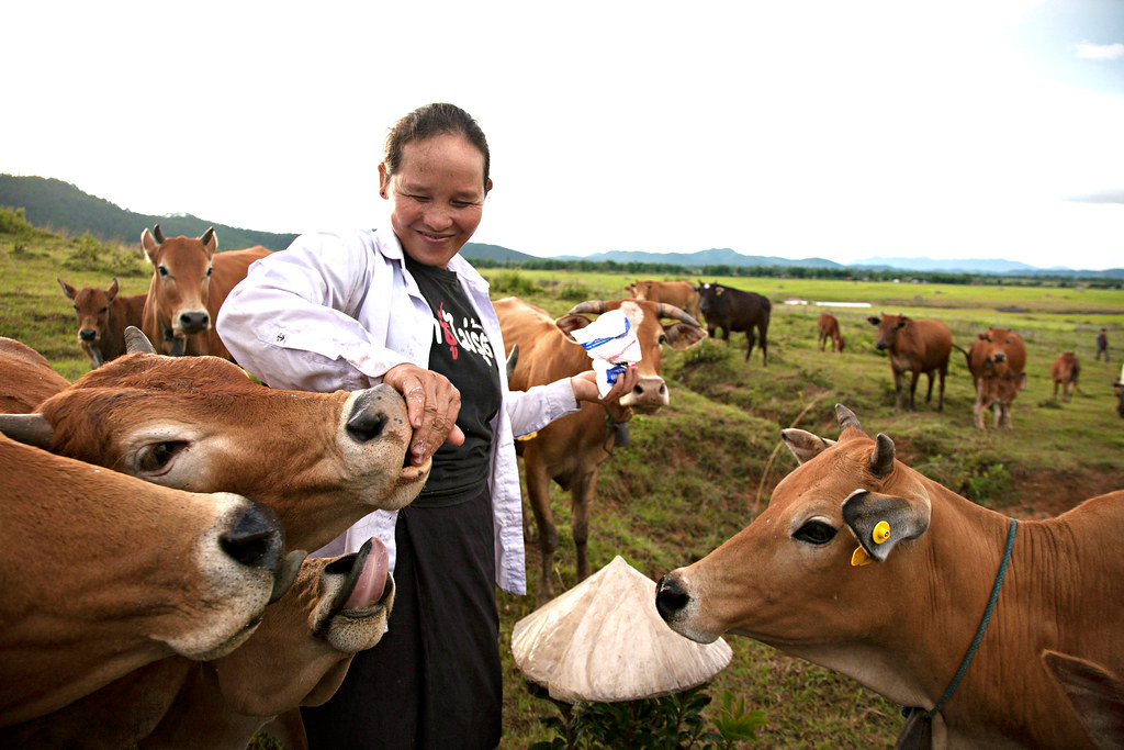 Laotian cattle keeper gives her cow salt