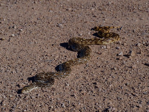Sonoran Gopher Snake (Pituophis catenifer affinis) | by NicholasHess