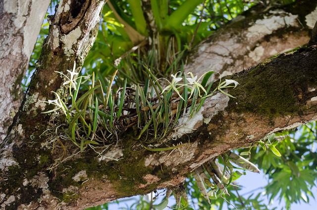 Brassavola nodosa in situ
