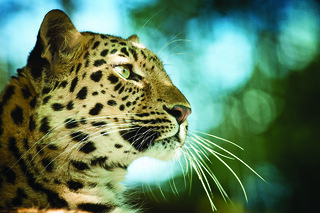 Amur leopard by Lawrie Brailey