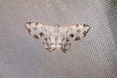 Uraniidae: Dysaethria lacteata