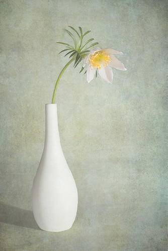 White Pasque in Vase | by framcameraclub