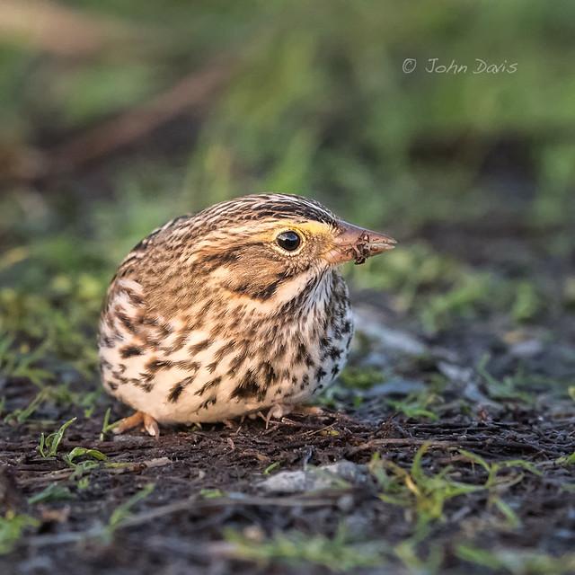 Savannah Sparrow 20171129_3560