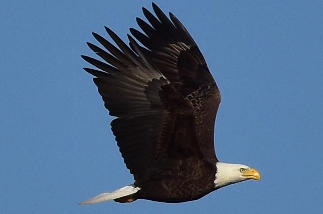 DSC_9962 Bald Eagle over the Connetquot River, LI, NY