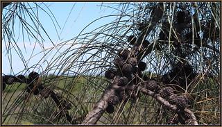 Casuarina Tree's needle foliage and cones  (Tooradin foreshore).
