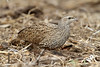 Pternistis natalensis (Natal Spurfowl) - South Africa by Nick Dean1