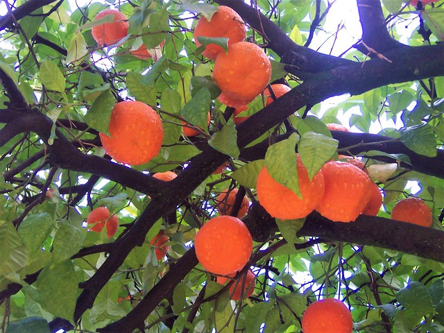 Oranges are the only fruit - in Cordoba at least