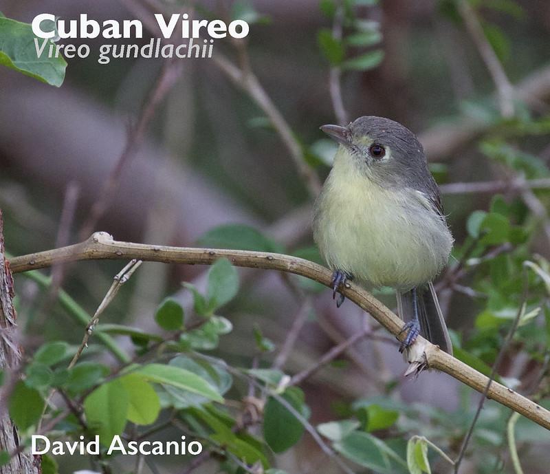 Cuban Vireo, Vireo gundlachii_199A2720