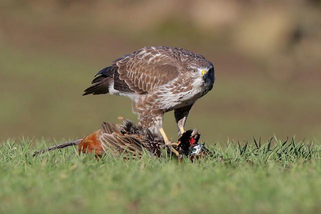 Common Buzzard (Buteo Buteo) 9P1A2683a