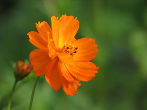 Orange cosmos | by Cuyahoga jco