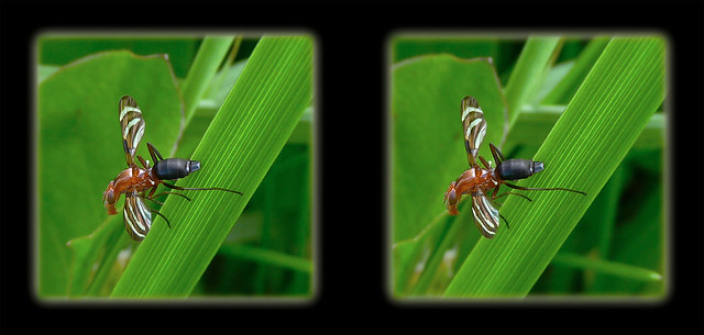 Tritoxa Incurva, Picture-winged Fly 1 - Cross-eye 3D
