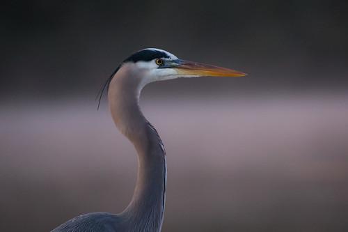 greatblueheron bird wildlife dawn fog mist armandbayou pasadena texas kayakphotography gseloff